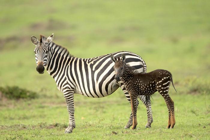 Зебры без полосок обычно не доживают до полугода в дикой природе.
