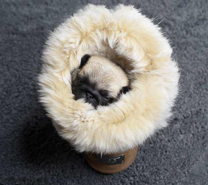 Новорожденный щенок мопса.