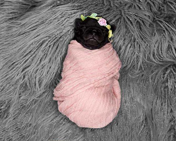 Новорожденный мопсенок.
