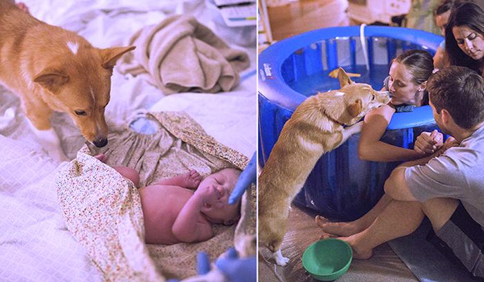 Собака присутствовала все время во время родов своей хозяйки.