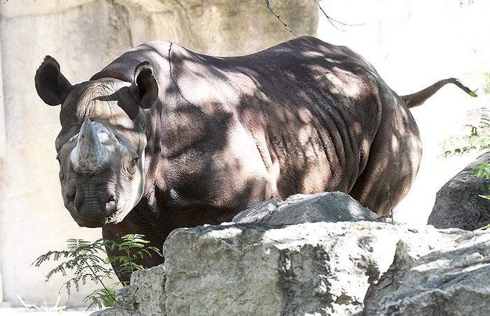 Носорог Лайла из зоопарка Чикаго.