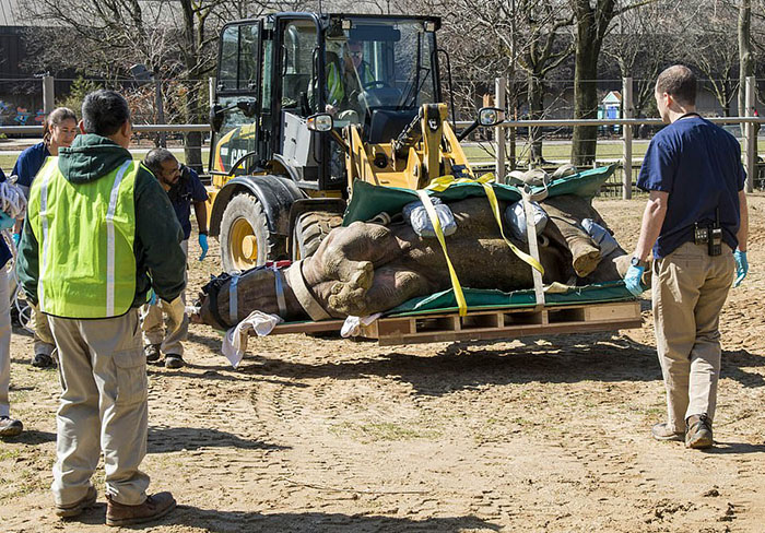 Зоопарк не пожалел средств, чтобы спасти своего носорога.