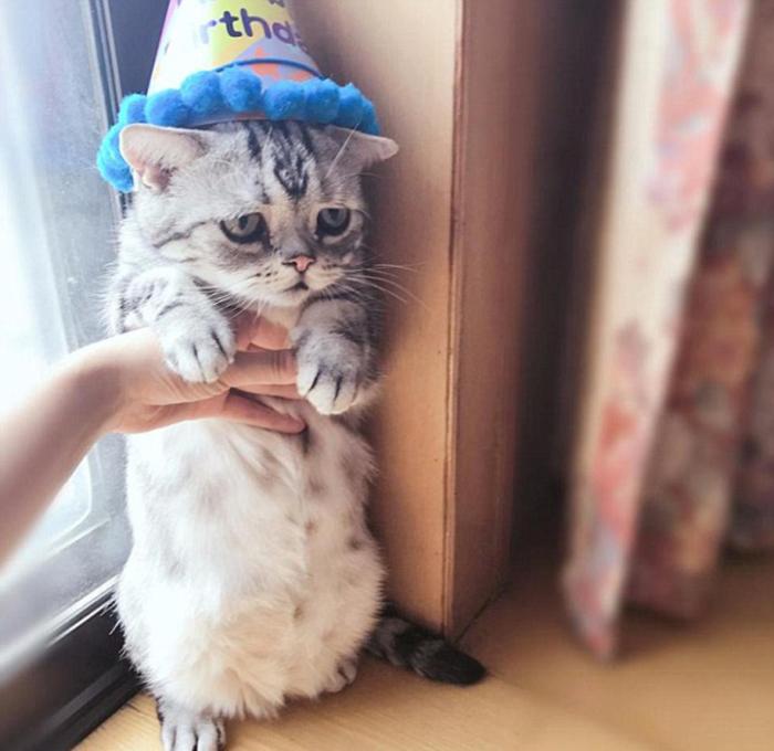Луу - довольно миниатюрная кошка.  Instagram lanlan731.