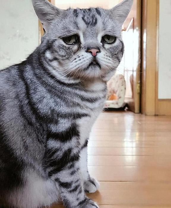 Печальный взгляд кошки-знаменитости из Китая.  Instagram lanlan731.