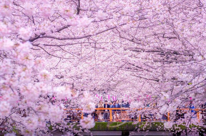 Ежегодный сезон цветения сакуры. Фото: Danilo Dungo.