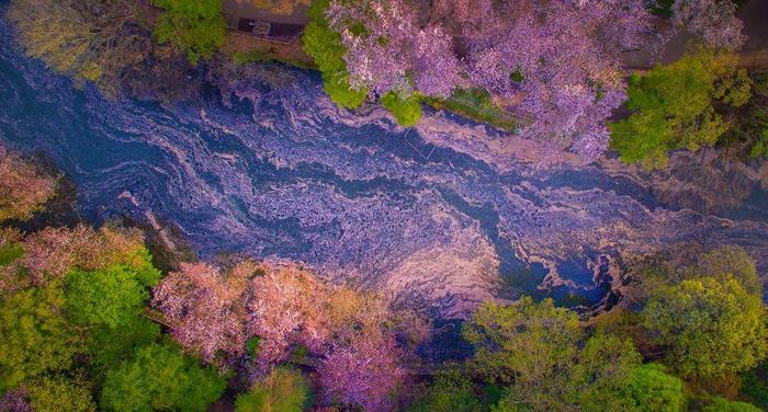 Цветущие вишни роняют свои лепестки в воды реки. Фото: Danilo Dungo.