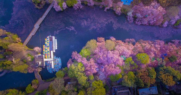 Цветущие вишни, растущие вдоль берега реки. Фото: Danilo Dungo.