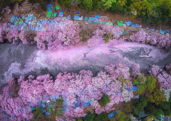 Река, окрашенная в розовый цвет из-за лепестков сакуры. Фото: Danilo Dungo.