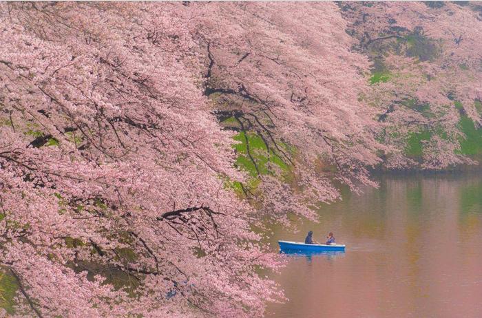 В сени цветущих сакур. Фото: Danilo Dungo.