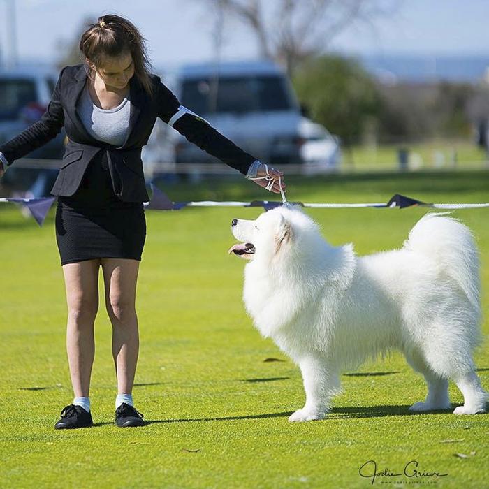 Сара водит своих собак по выставкам.