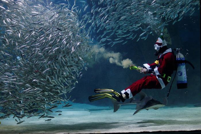 Дайвер в костюме Санты во время представления *Кормление сардин и Санта Клаус*. 17 декабря 2016.