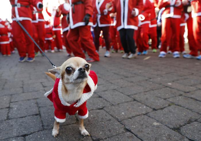 Собачка в рожественском костюме дожидается своего хозяина во время ежегодного благотворительного забега. 4 декабря 2016.