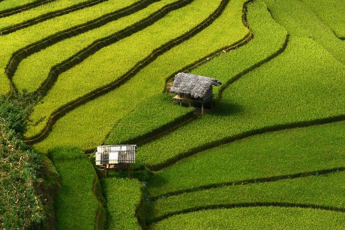 Вьетнамские рисовые поля.
