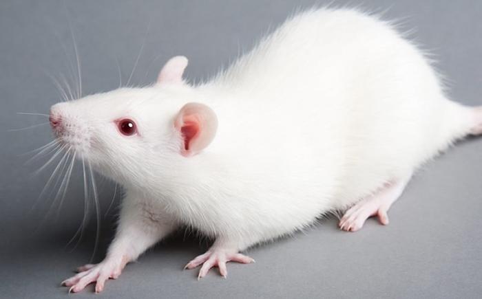 Лабораторные крысы нуждались в приюте.