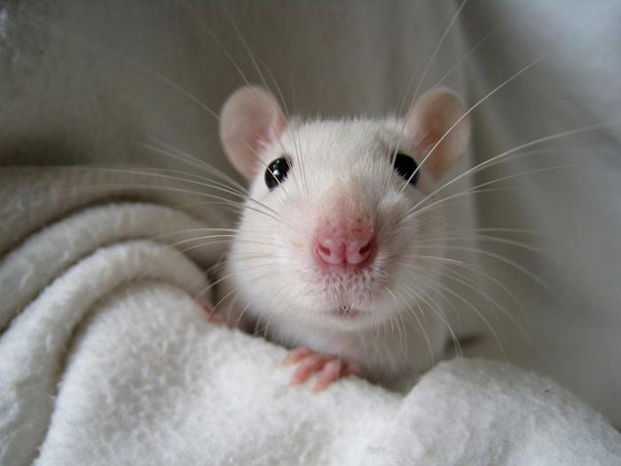 В лаборатории было 27 крыс.