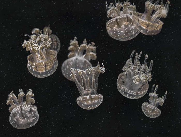 Вместо того, чтобы плавать, этот вид медуз проводит свое время, «прыгая» вверх ивниз вводе. Окраска медуз обусловлена водорослями, прикрепляющимся кэтим созданиям. Фото: Mary Anne Chilton.