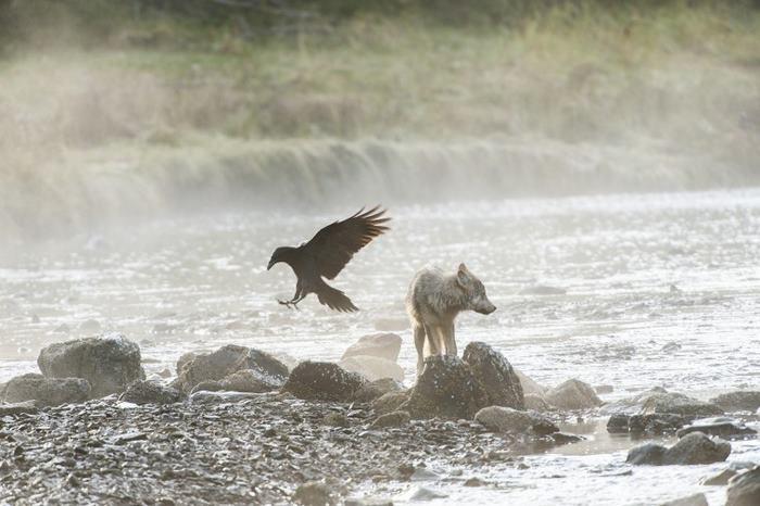 Хотя прибрежные волки и похожи на обычных волков, они отличаются даже на генетическом уровне. Фото: Ian McAllister.