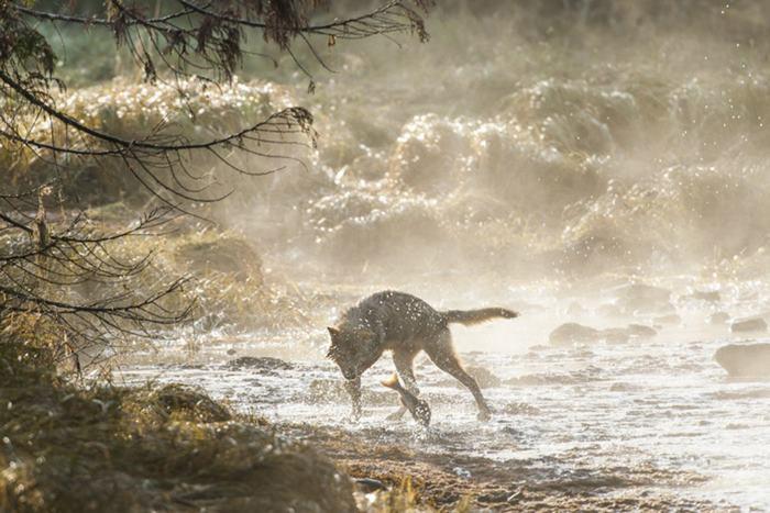 Эти волки питаются пищей, добытой в воде. Фото: Ian McAllister.