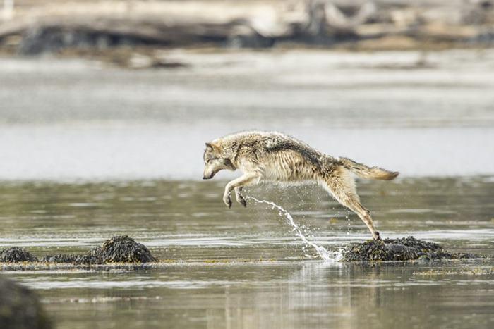 Прибрежные волки отлично умеют плавать и способны преодолевать огромные расстояния по воде. Фото: Ian McAllister.