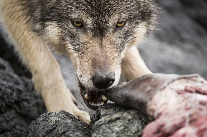 90% рациона волков состоит из пищи, добытой в океане. Фото: Ian McAllister.