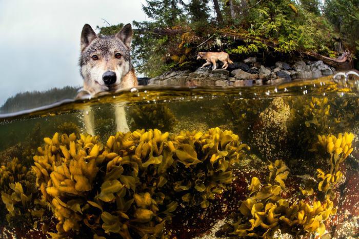Прибрежные волки охотятся на лосося и морских котиков. Фото: Ian McAllister.