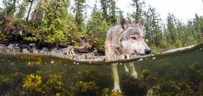 О существовании этих волков стало известно относительно недавно. Фото: Ian McAllister.