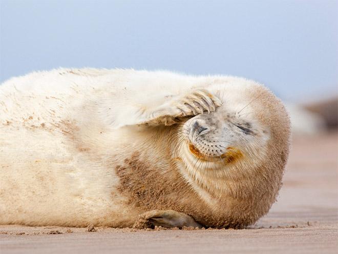 Улыбающийся тюлень.