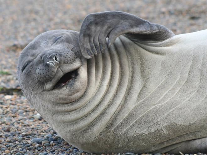 Смеющийся тюлень.
