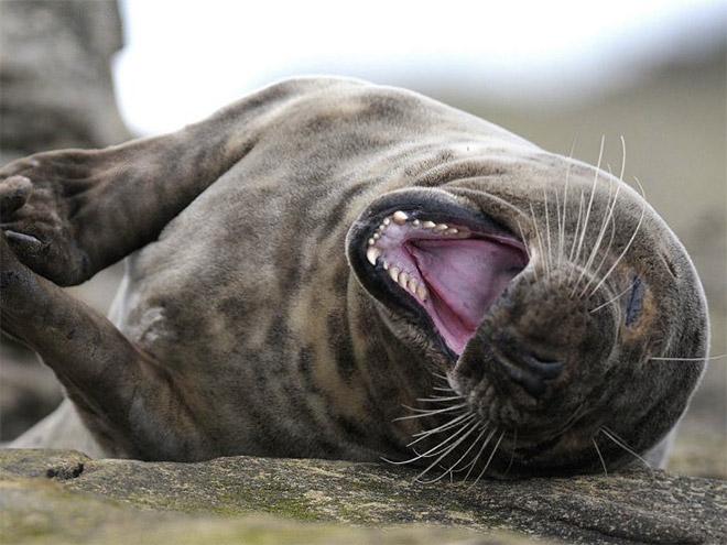 Тюлени от Вероники Крафт.