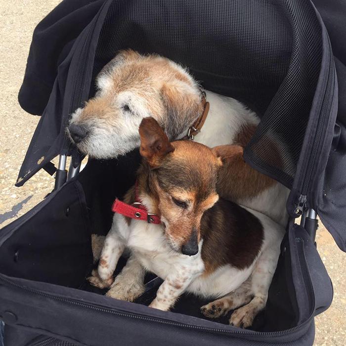 Если собакам тяжело ходить, Никола возит их на улицу на коляске.