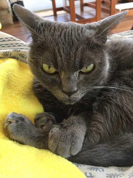 История кошки Шамо стала недавно известна в Интернете.