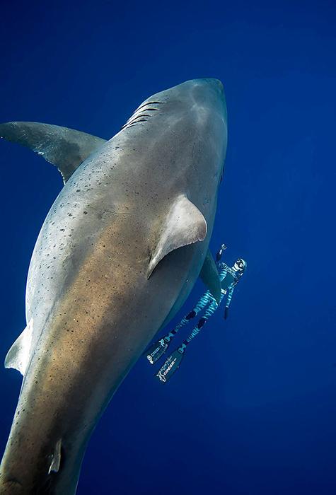 Акула Deep Blue рядом с дайвером Оушен Рамзи.