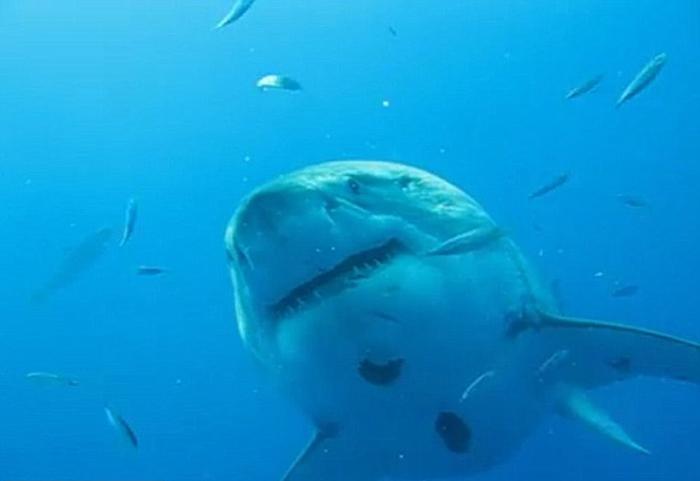 Deep Blue является самой большой акулой их всех, которые были замечены людьми.