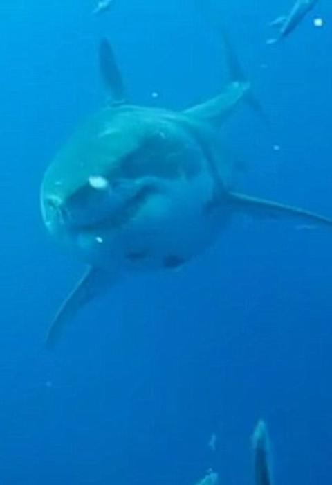 Белая акула Deep Blue.