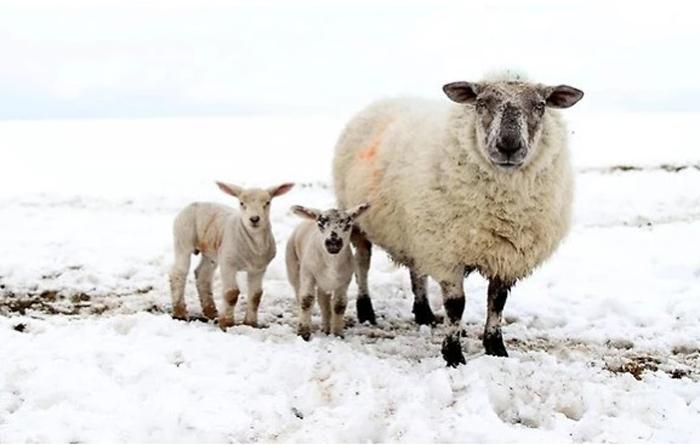 Овцы. Фото: Peter Muhly.