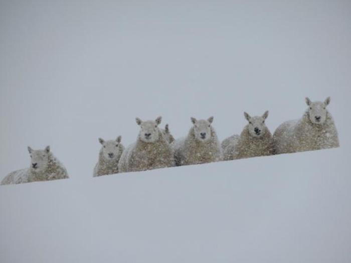 Овцы зимой.