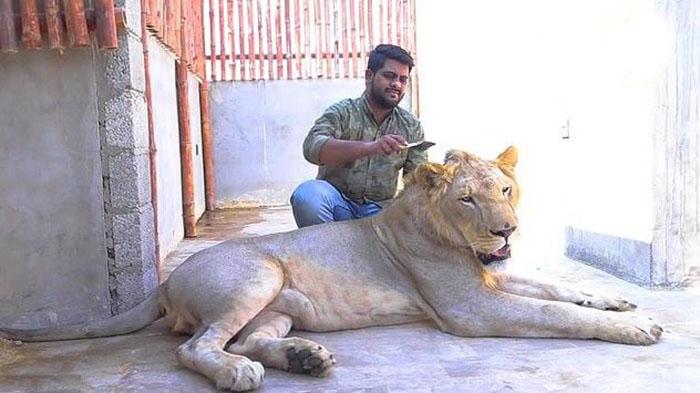 Лев, живущий в доме с людьми.