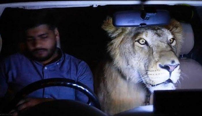 В одной машине со львом.