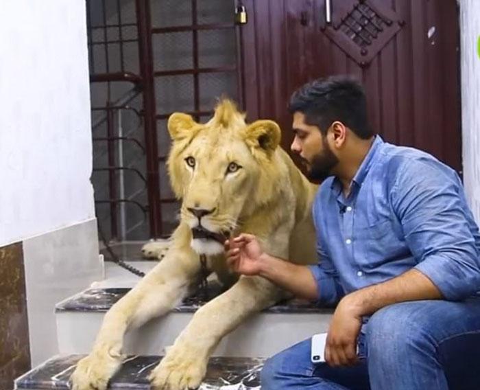 Ручной лев.