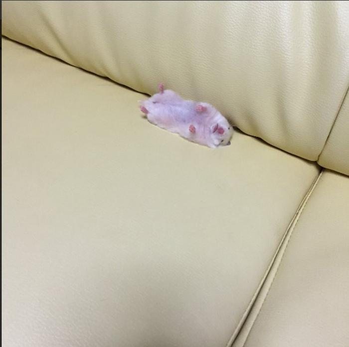 Сон сморил хомячка на полпути к клетке.