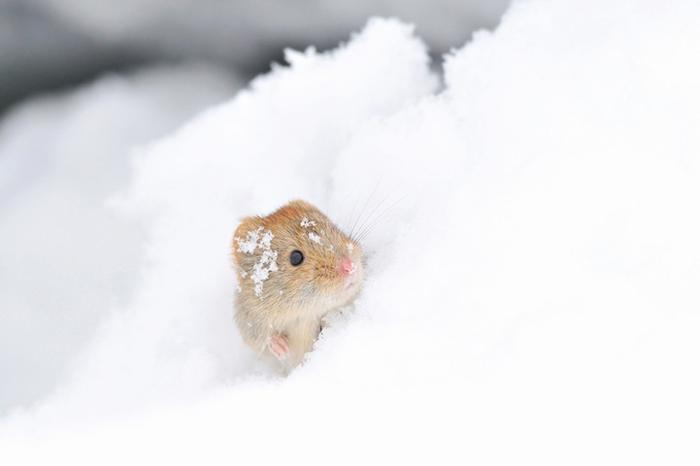 Маленькие животные тоже радуются снегу. Фото: Masatsugu Ohashi.