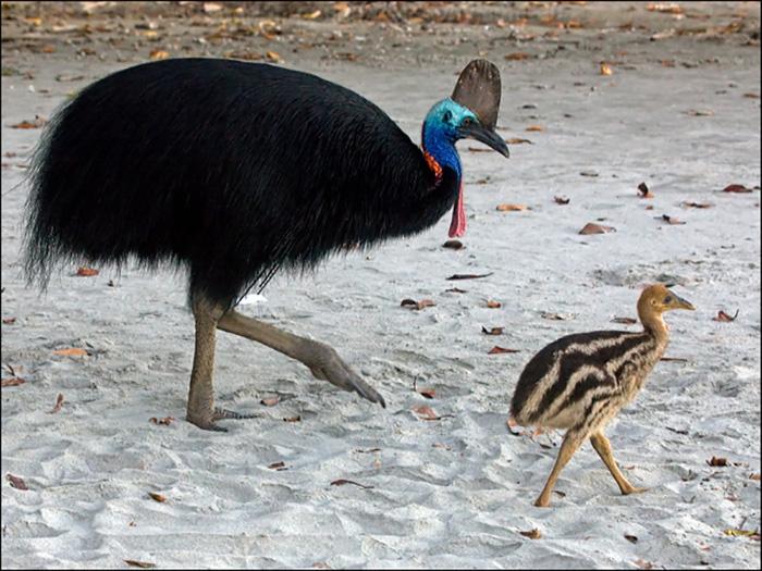 Южный казуар с птенцом.