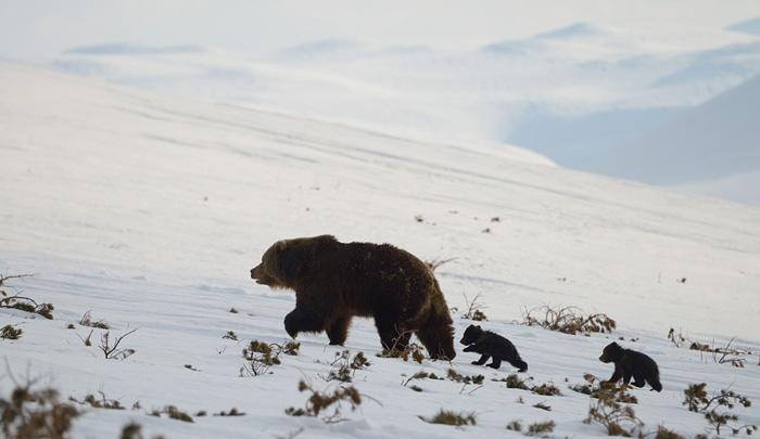 http://www.kulturologia.ru/files/u18046/spilenok-bear-02.jpg
