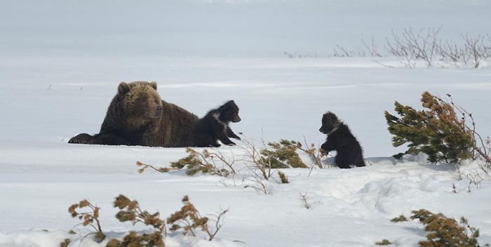 http://www.kulturologia.ru/files/u18046/spilenok-bear-06.jpg