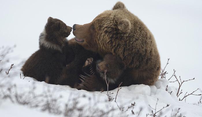 http://www.kulturologia.ru/files/u18046/spilenok-bear-10.jpg