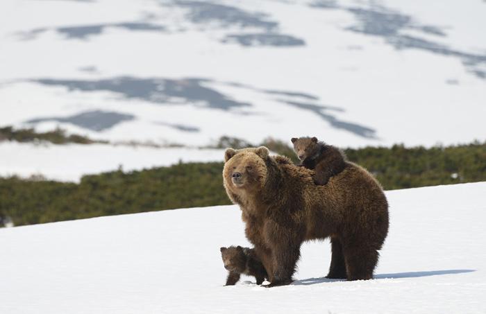 Медведица с двумя медвежатами.
