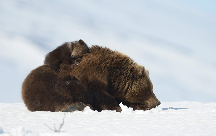 http://www.kulturologia.ru/files/u18046/spilenok-bear-14.jpg