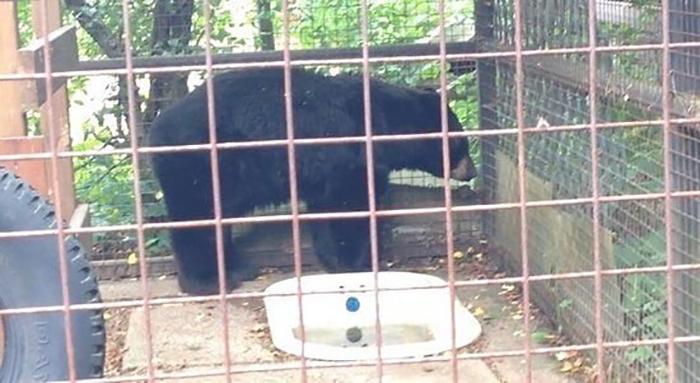 Доступа к чистой воде у Медведя нет - только ванная с грязной застоявшейся водой.