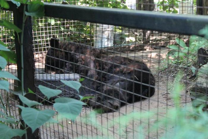 Развлечений в клетке у медведя никаких нет - поэтому он не знает, чем себя занять.