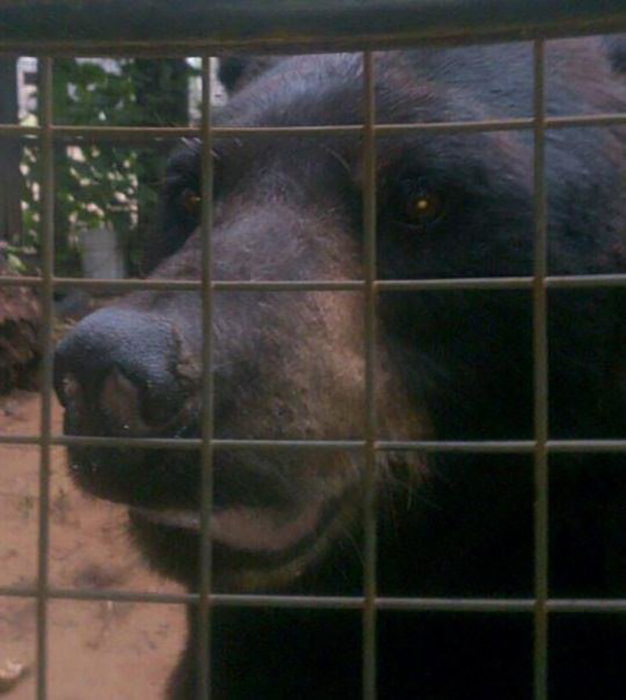 Медведь Бен в заповеднике Онтарио.